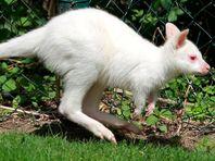 Кенгуренок-альбинос умер от стресса в новосибирском контактном зоопарке