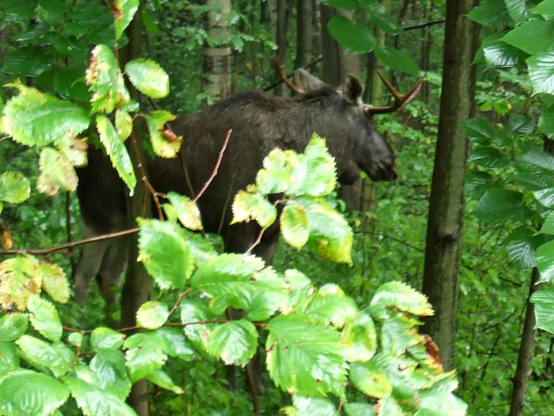 Полицейские в Саратовской области задержали рыбака, убившего лося в то время, когда охота на этих животных запрещена