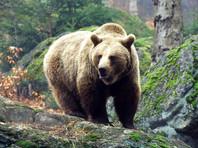 На Сахалине охотоведы застрелили медведя, навещавшего детсадовцев