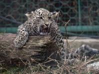 Владимира Путина уличили в равнодушии к выживанию леопардов: у центра разведения животных в Сочи хотят отобрать землю