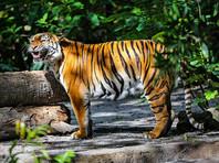 Крупный тигр терроризирует жителей села в Приморье