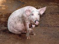 Рязанская  область  ввела  режим ЧС из-за   африканской чумы  свиней