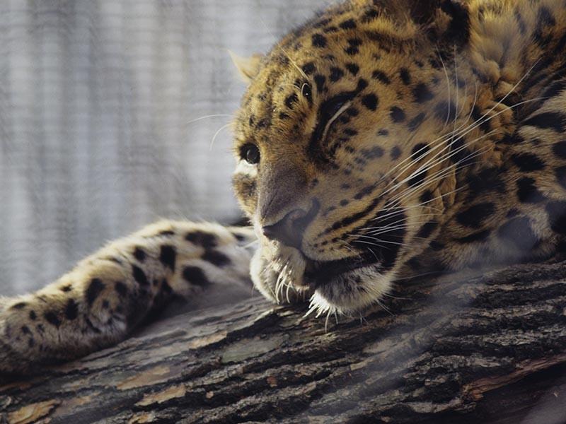 Трех леопардов, родившихся и подросших в сочинском Центре восстановления переднеазиатского леопарда на Кавказе, выпустили на волю в Кавказском биосферном заповеднике. Эти особи станут основоположниками новой популяции леопардов на Кавказе