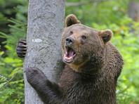 Югорский школьник мигом научился лазать по деревьям, повстречав в лесу медведя