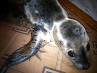 На Сахалине после селфи, травли собаками и избиения палками умер детеныш ларги