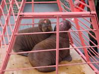 Моржихи Мира и Фаня умерли в приморском океанариуме после операции по удалению клыков