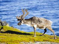 На Ямале зафиксирована вспышка сибирской язвы: погибли 1200 оленей, население эвакуируют
