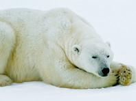 Агентство FlashNord вновь сообщило о закрытии громкого дела об убийстве белой медведицы на Чукотке взрывпакетом