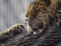 Трех леопардов из сочинского центра, опекаемого Путиным, выпустили на волю размножаться