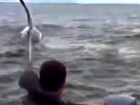"""Сахалинские рыбаки выручили косатку, застрявшую в """"банке"""" (ВИДЕО)"""