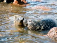 В Петербурге спасенный зоозащитниками тюлень Крошик отказался покидать людей (ВИДЕО)