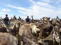 Сибирскую язву выявили у 20 из 90 госпитализированных оленеводов Ямала и их детей