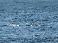Краснокнижный серый кит запутался в сетях у берегов Сахалина