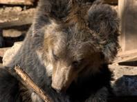 Хабаровские сельчане помогли вернуться в лес пьяной медведице
