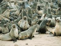 """Сахалинские экологи требуют наказать браконьеров, """"разгонявших пинками"""" тюленей"""