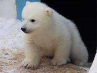 Спасенного на Чукотке медвежонка Нику несколькими самолетами доставили в Московский зоопарк