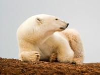 """За досрочным голосованием метеорологов на северном острове """"наблюдали"""" 15 белых медведей"""