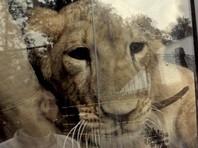 На улицах Уфы отловили праздно гулявшего львенка (ВИДЕО)