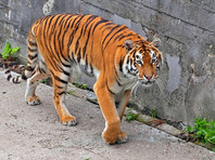 Специалисты сказали, что хищник - молодой самец амурского тигра в возрасте около двух лет. Ориентировочный вес животного 120 кг
