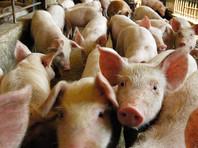 """На фермах поставщика """"Ашана"""" и """"Перекрестка"""" нашли вирус африканской чумы свиней"""