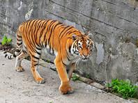 Во Владивостоке тигра, разыскиваемого полицией, сняли на  видеорегистратор