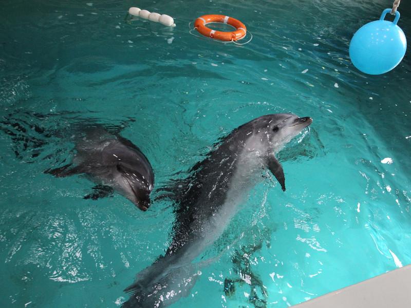 Дельфины в одном из бассейнов научно-адаптационного корпуса Приморского океанариума ДВО РАН, февраль 2015 года