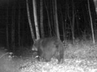 """Медведь в режиме онлайн съел часть фотоловушки, в которую попал в нацпарке """"Таганай"""" (ВИДЕО)"""