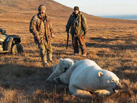 На Чукотке сотрудники скандально известного заповедника спасли белого медвежонка от жестяной банки