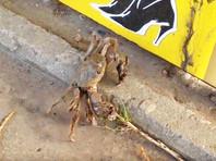 По улице Хабаровска гулял китайский мохнорукий краб (ВИДЕО)