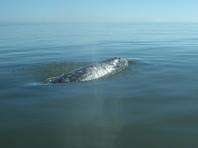 Экологи бьют тревогу из-за краснокнижного кита, застрявшего в сахалинской бухте