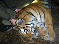Во Владивостоке отловили второго за неделю тигра, который приблизился к людям
