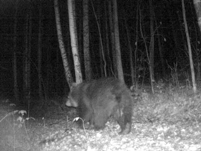 """Медведь в режиме онлайн съел часть фотоловушки, в которую попал в нацпарке """"Таганай"""""""