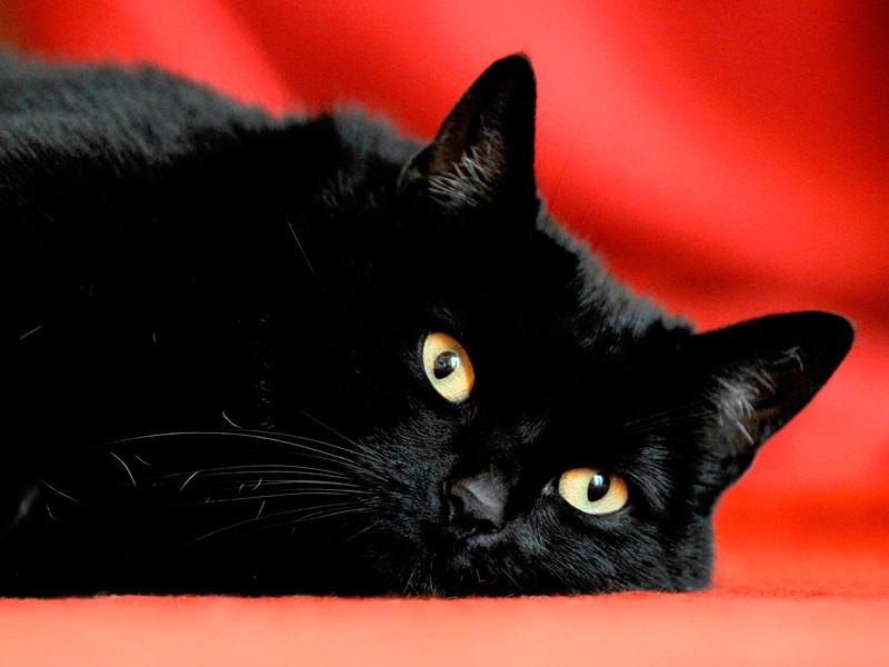 Зоозащитники в регионах беспокоятся за черных котов, которых якобы приносят в жертву на Хэллоуин