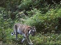 Приморская тигрица, названная в честь матери-героини, снова принесла приплод (ВИДЕО)