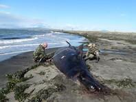 На курильском острове Кунашир нашли погибшего кита (ФОТО)