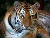 Во Владивостоке ищут упитанного тигра, разгуливающего по городу