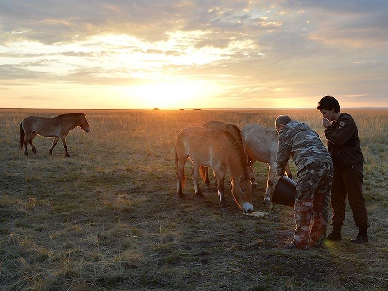 В оренбургском заповеднике Путин ведром овса выманил в степи стадо лошадей Пржевальского