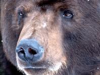 В Дальнегорске к частным домам стал приходить медведь, руша курятники и нападая на собак