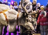 Северный олень по кличке Беляк, работавший вожаком в упряжке Деда Мороза, получил серьезную травму, которая едва не лишила его возможности ходить, и проведет все новогодние праздники в палатке реабилитации