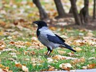 В Приморье ворона сдала приставу прятавшуюся на кладбище алиментщицу