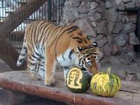 Хищникам красноярского зоопарка предложили предсказать итоги выборов президента США (ВИДЕО)