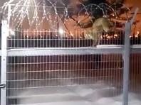 На Ямале лисица преодолела забор с колючей проволокой, чтобы полакомиться печеньем (ВИДЕО)