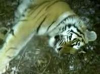 Разрешение на отлов было получено 12 сентября, а поймать Тихоню удалось только 3 ноября. Специалисты отметили, что тигрице около трех-четырех лет, ширина пятки - 9,5 см