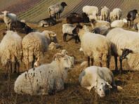 Адыгейский эколог заявил о махинациях со стадом овец, присланных Кадыровым