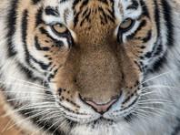 В ЕАО путинский тигр и его подруга устроили охоту на медведей