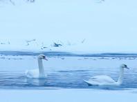 В Подмосковье готовятся спасать из полыньи двух белых лебедей