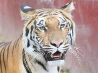 В зоопарке Петербурга из клетки вырвалась тигрица
