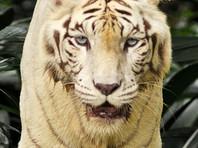 Белые тигры искусали помощника дрессировщика в цирке Волгограда