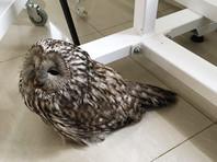 Во Владивостоке спасли сову с сотрясением мозга и прооперировали тигренка Трампа