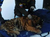 В Приморье  браконьеры тяжело ранили амурского тигренка
